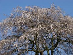 95-blossom_2542.JPG