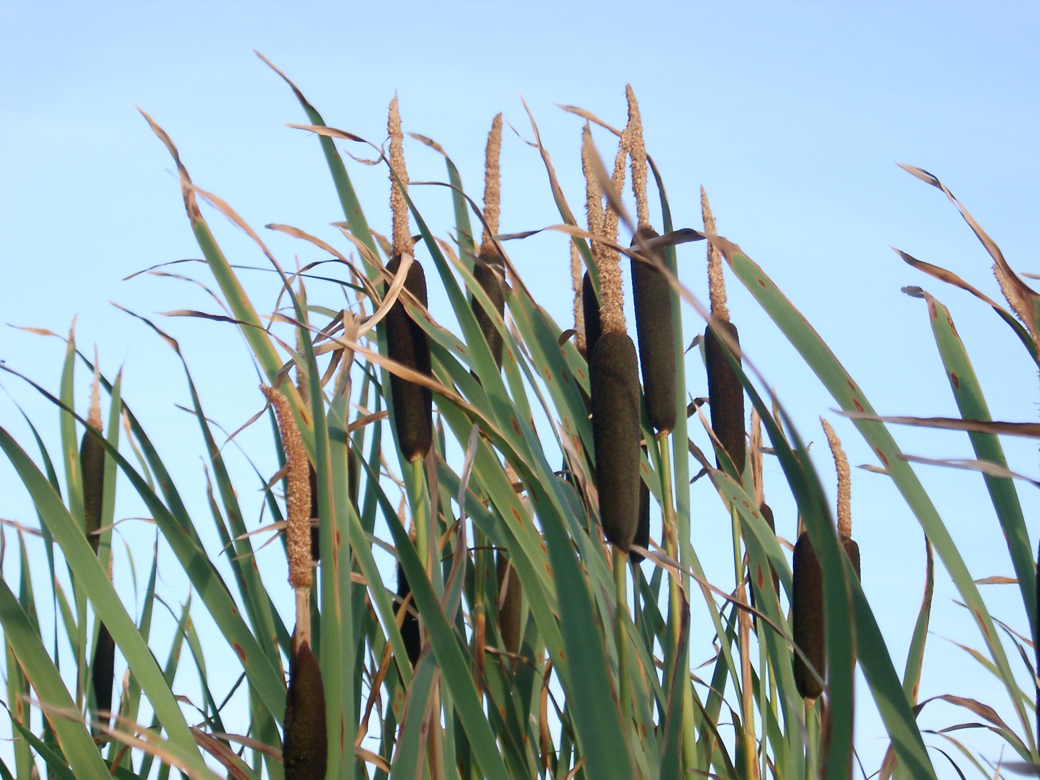 Free stock photo 96 bull rushes4016 jpg freeimageslive