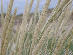 100-dune_grass_3867.JPG