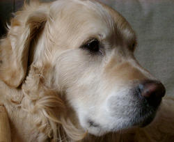 128-golden_retriever_0073.jpg
