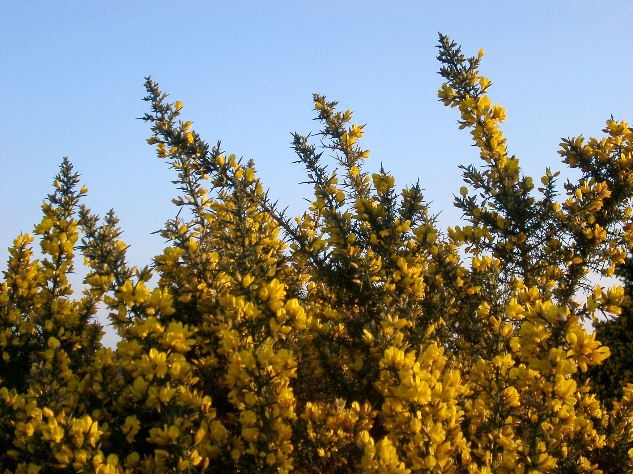 Free Stock Photo 105 Gorse2575g Freeimageslive