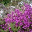 108-heather_flowers_3927.JPG