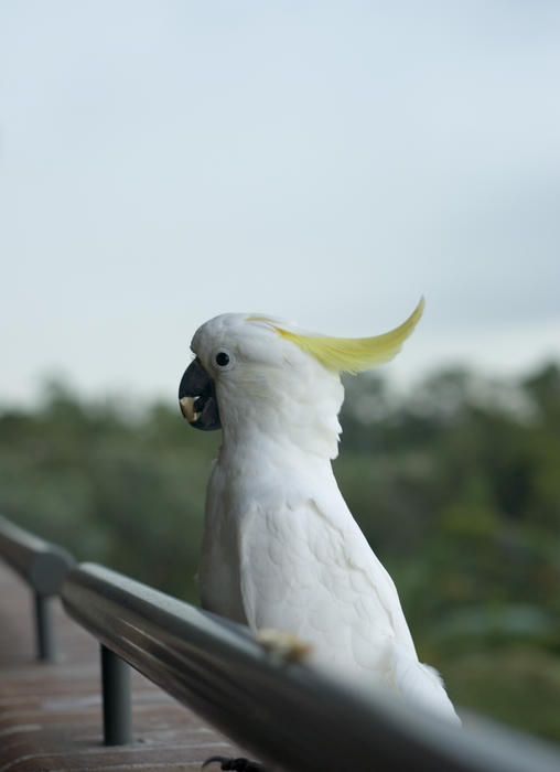 511-sulphur crested cockatoo