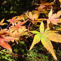 879-autumn_leaves_02194.JPG