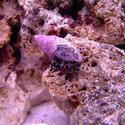1230-blue_legged_hermit_crab_DSC00451.JPG