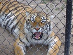 655-cage_tiger_321.jpg