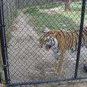 656-cage_tiger_328.jpg
