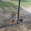657-cage_tiger_329.jpg