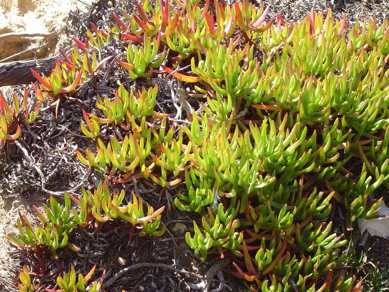 Free Stock Photo 882 Coastal Succulents 02123 Jpg