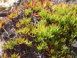 882-coastal succulents_02123.JPG