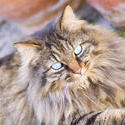 1136-longhaired_cat_1579.jpg