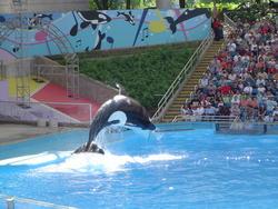 666-orca_killer_whale184.jpg