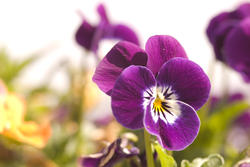 1123-purple_pansies1699.jpg