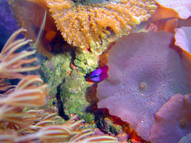 details of a red mushroom disc coral, Actinodiscus, also known as a flower coral anemone