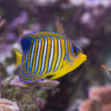1248-royal_angel_fish_2208.jpg