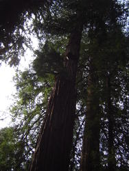 897-sequoia_forest_02023.JPG