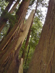 901-sequoia_forest_02037.JPG