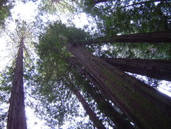902-sequoia_forest_02039.JPG