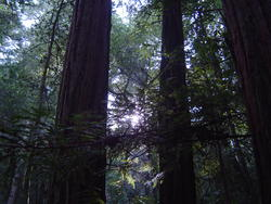 904-sequoia_forest_02042.JPG