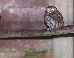 835-small owl