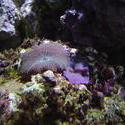 1255-striped_mushrooom_coral_01262.JPG