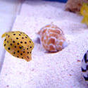 1225-yellow_boxfish00526.JPG