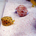 1226-yellow_boxfish00527.JPG