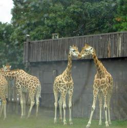 674-zoo_giraffe_tall_01136.jpg