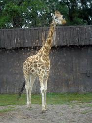 675-zoo_giraffe_tall_01139.jpg