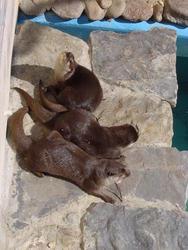 677-zoo_otters170.jpg