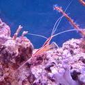 1260-Scarlet_cleaner_shrimp00560.JPG