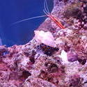 1302-Scarlet_cleaner_shrimp00685.JPG