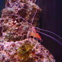 1303-Scarlet_cleaner_shrimp00768.JPG