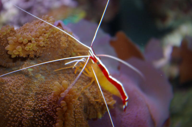 A scarlet cleaner shrimp on tropical corals