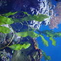 1265-aquarium_plants_01323.JPG