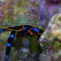 1266-blue_leggged_hermit_crab_IGP0832.JPG