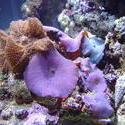 1267-blue_mushroom_anemones01244.JPG