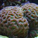 1268-brain_star_coral01313.JPG