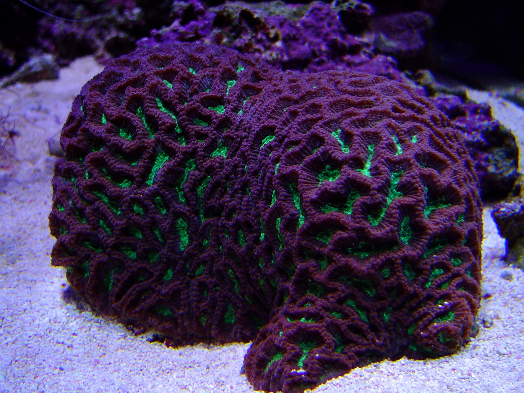 Free Stock Photo 1310-brain_star_coral02484.JPG ...