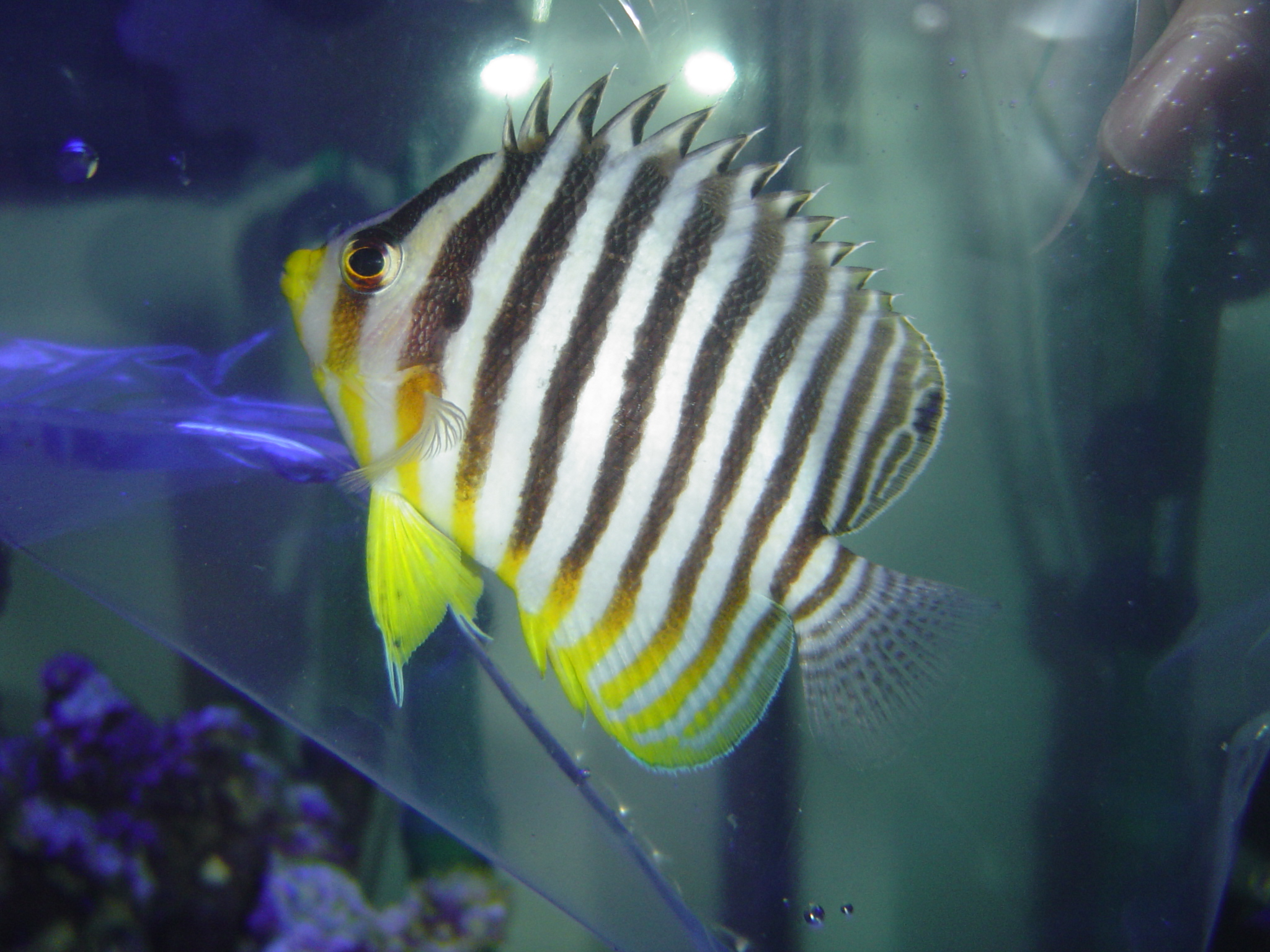 Free stock photo 1313 butterflyfish01350 jpg freeimageslive for Butterfly fish freshwater