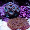 1314-candycane_coral02481.JPG