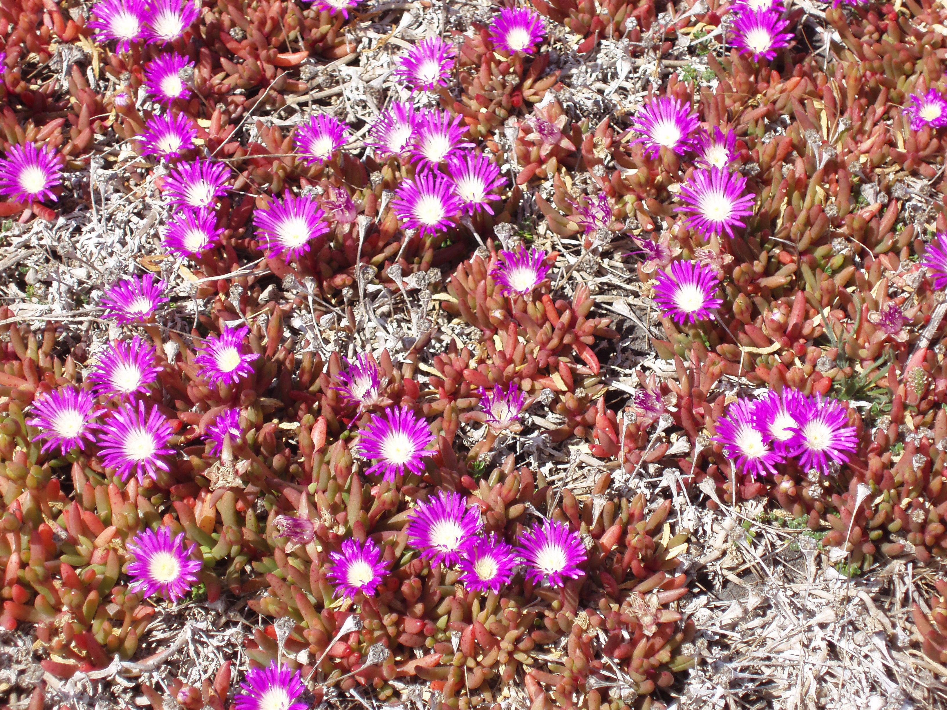 Free Stock Photo 1526 Purple Flowers Freeimageslive