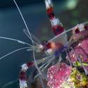 1272-coral_shrimp1315.JPG