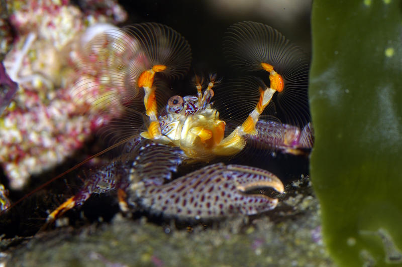 underwater marine life, a colourful crab