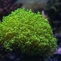1326-frogspawn_green_branching_coral0684.JPG