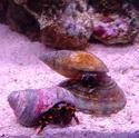 1282-hermit_crab_00978.JPG