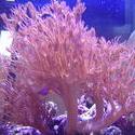 1332-heteroxenia_coral_polyps_02323.JPG