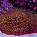 1286-mushroom_coral_fungiidae02359.JPG