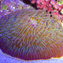 1335   mushroom coral