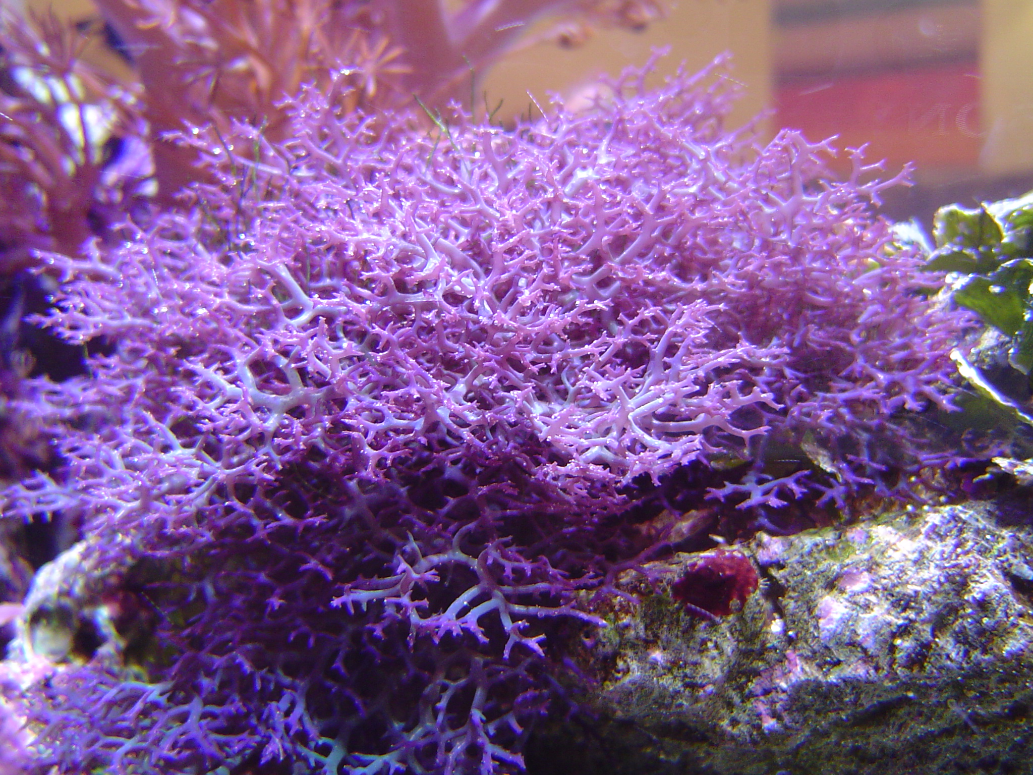 soft coral growth photo title soft corals keywords coral corals soft ...